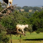 Essaouira and Incredible Argan Tree Goats
